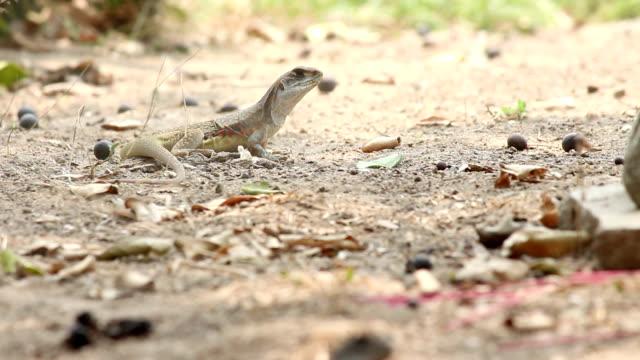 butterfly lizard video