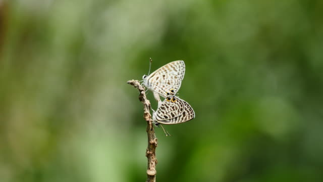 Butterfly mating in the garden. video