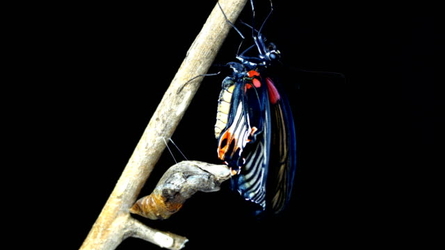 Butterfly new born time lapse black background Butterfly new born time lapse black background butterfly insect stock videos & royalty-free footage