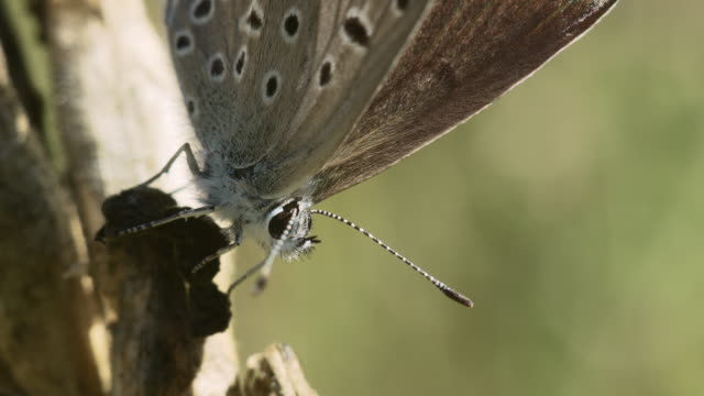 Butterfly of Lycaenidae  close-up