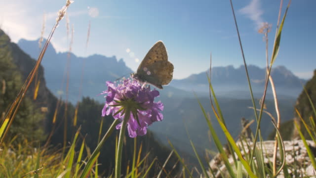 vídeos de stock e filmes b-roll de butterfly on a flower with beautiful mountains in the background. - alpes europeus