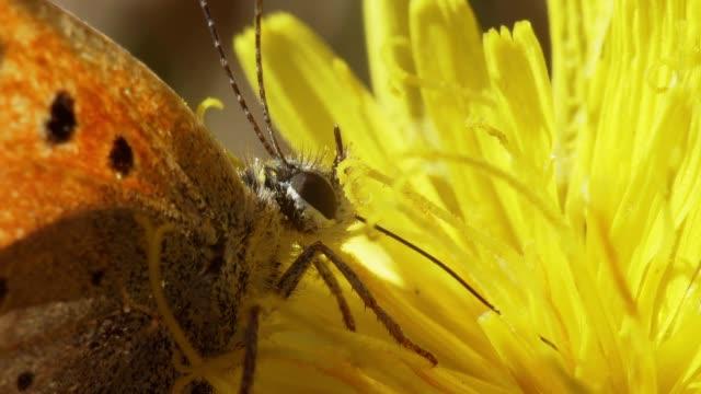 fjäril på en gul blomma. - pollinering bildbanksvideor och videomaterial från bakom kulisserna
