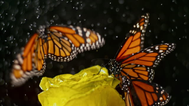 SLO MO Butterfly on a yellow rose taking off when it starts to rain Slow motion close up locked down shot of a butterfly taking off from a yellow rose as the rain starts falling. Shot in black background. Shot in Slovenia. butterfly insect stock videos & royalty-free footage