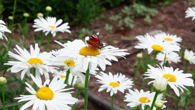 motyl na stokrotka kwiat - io księżyc filmów i materiałów b-roll