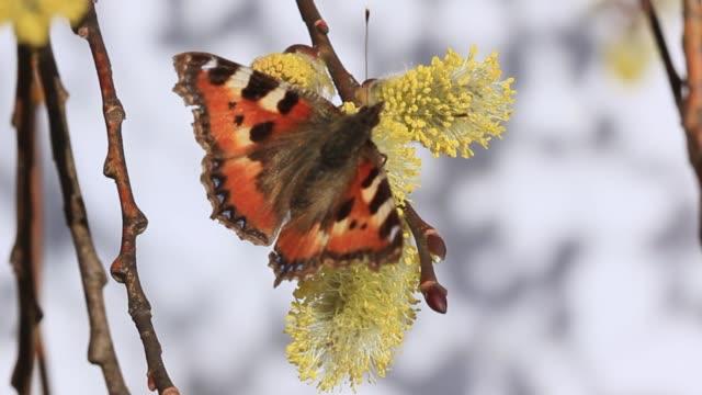 butterfly on flowering willow - farfalla ramo video stock e b–roll