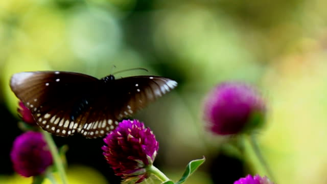 Video Butterfly on flowers,Slow motion