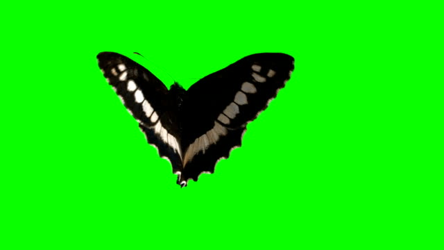 butterfly on green screen background alpha channel - butterfly stock videos & royalty-free footage