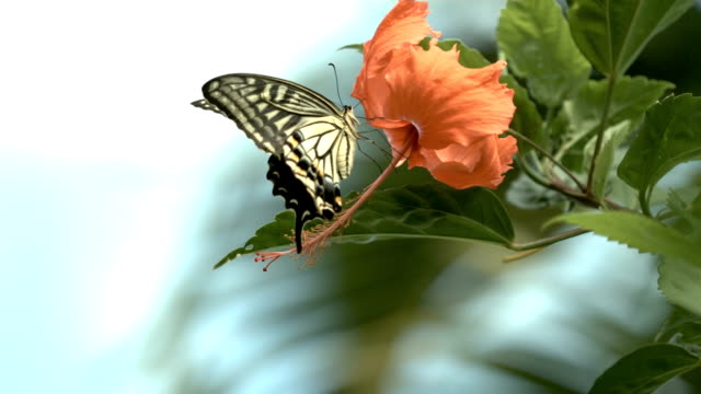 Butterfly on hibiscus flower in slow motion