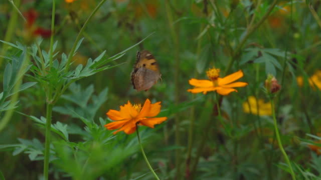 Butterfly On Orange Flower Slow Motion