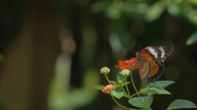 butterfly on orange flower slow motion - farfalla ramo video stock e b–roll