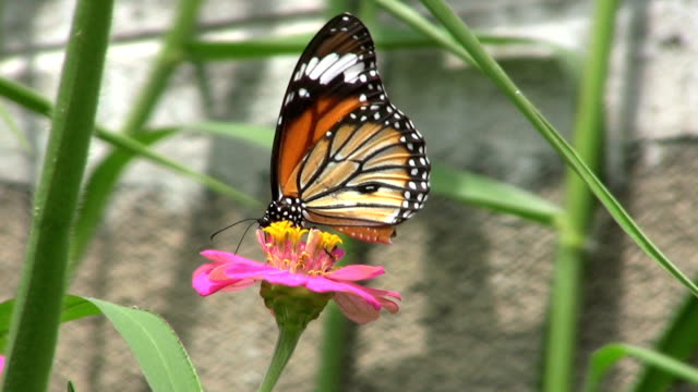 Butterfly On Pink Flower - Slow Motion video
