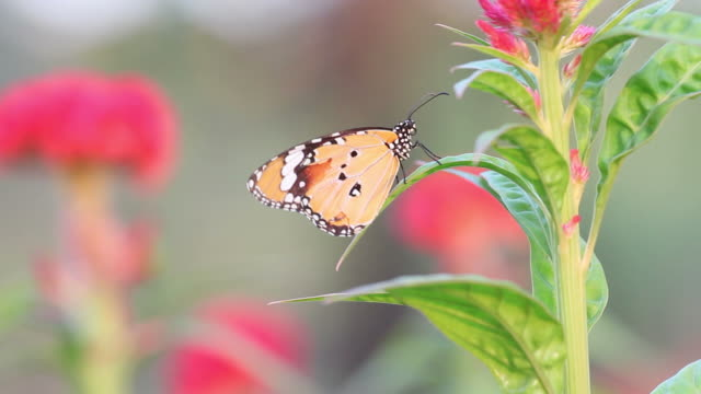 Butterfly on pink flower video