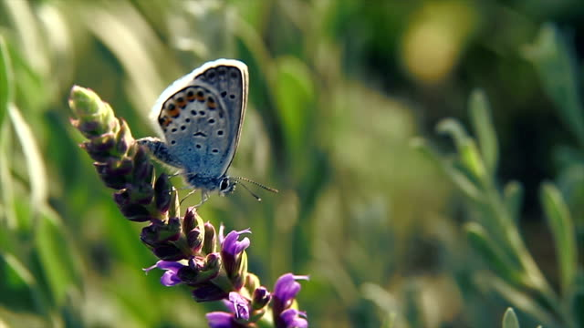 Butterfly on the cornflower in front of defocused green background video