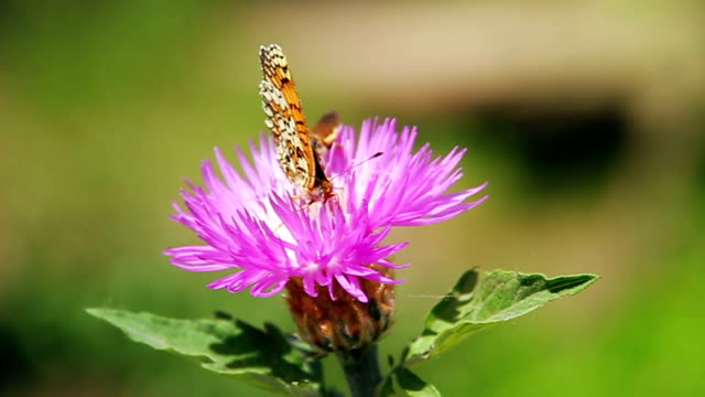 Butterfly on the pink flower in front of green background video