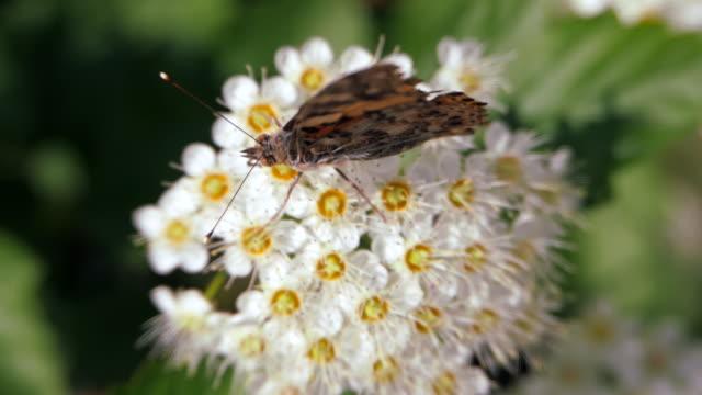 Butterfly on white inflorescences in the spring. Crataegus monogyna in spring. Pestrokrylnitsa volatile or Pestrokrylnitsa Levan, Araschnia levana on a flower collecting nectar.