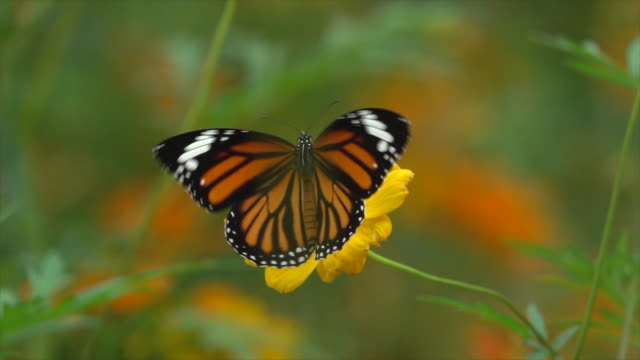 Butterfly On Yellow Flower Slow Motion Video of monarch butterfly on yellow flower super slow motion. 4K butterfly insect stock videos & royalty-free footage