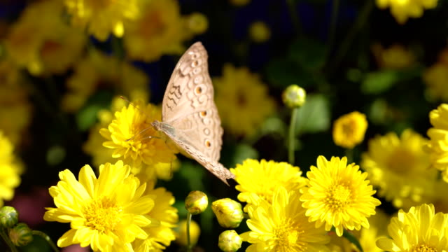 butterfly on yellow flower - pianta vascolare video stock e b–roll