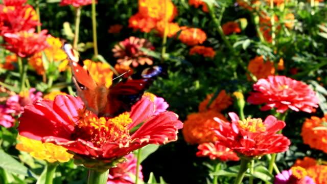 butterfly peacock eye on the zinnia video