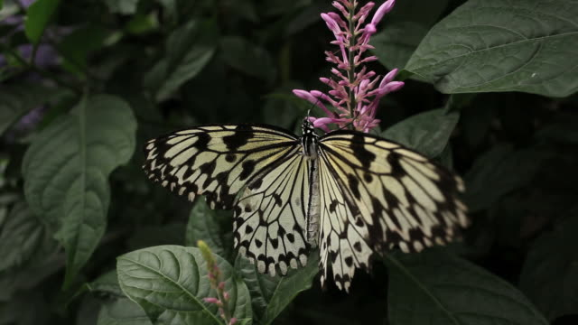 Butterfly pit stop video