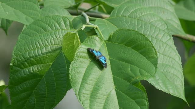 vidéos et rushes de papillon au repos sur la feuille et en volant loin - nervure