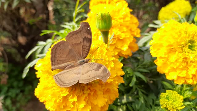 A butterfly sitting on flower and taking  Juice of marigold.