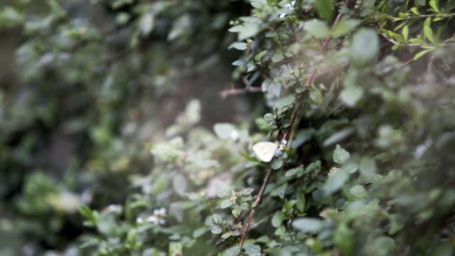 schmetterling auf grünen zweigen sitzen - himachal pradesh stock-videos und b-roll-filmmaterial