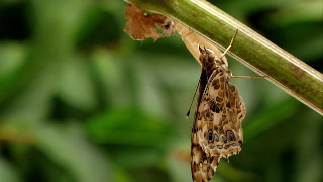 ali di farfalla di stretching - farfalla ramo video stock e b–roll
