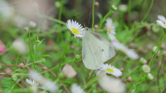 白い花の蜜を吸う蝶 ビデオ