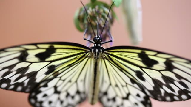 farfalla. - farfalla ramo video stock e b–roll