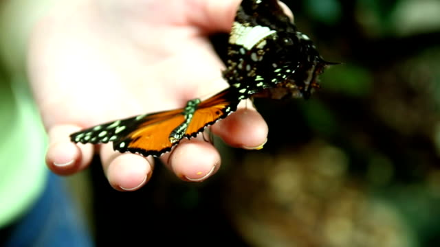 HD CLOSE UP: Butterfly video
