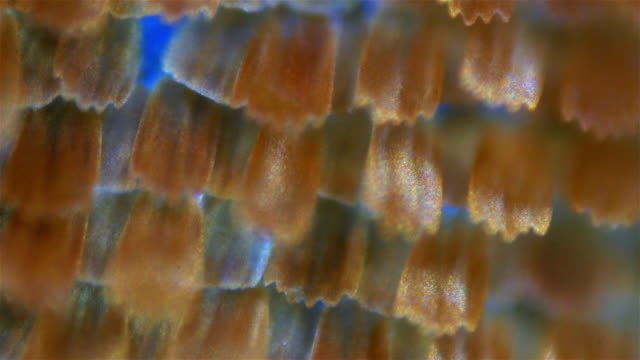 Butterfly wings. Sequence. Macro video
