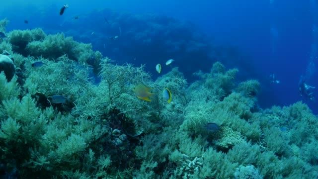vídeos y material grabado en eventos de stock de pez mariposa, damiselas, arrecifes de coral tropicales - sea life park