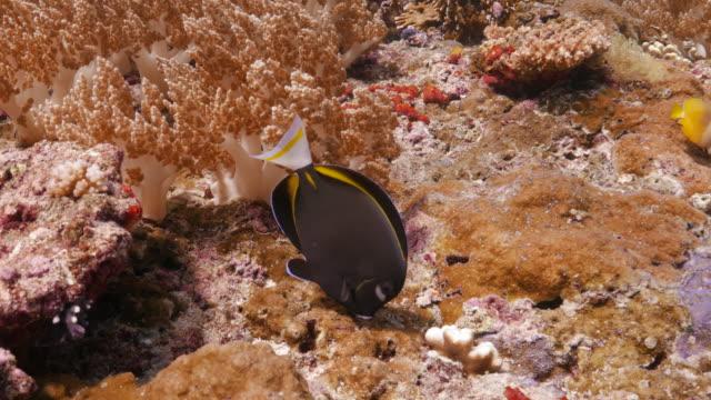Butterflyfish eating seaweed undersea in coral reef video