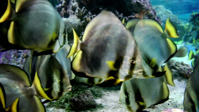 butterflyfish tropical fishes closeup butterflyfish tropical fishes closeup pacific islands stock videos & royalty-free footage