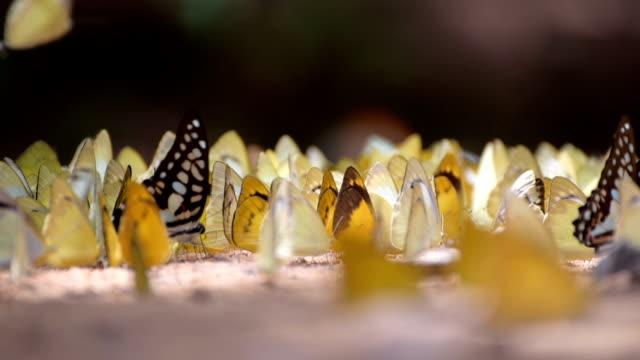 butterflys video