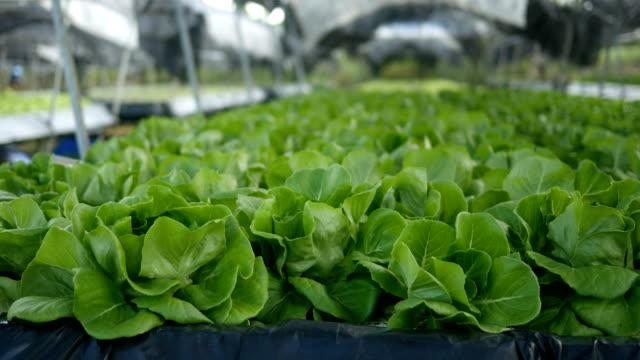 butterhead leaf lettuce video