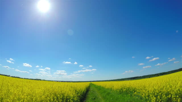 by car through the canola field - fish eye video stock e b–roll