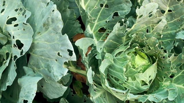 kål skadas av insekter skadedjur närbild. huvud och blad av kål i hålet, äts av larver fjärilar och larver. konsekvenserna av invasionen fjärilar pieris brassicae - gröda bildbanksvideor och videomaterial från bakom kulisserna