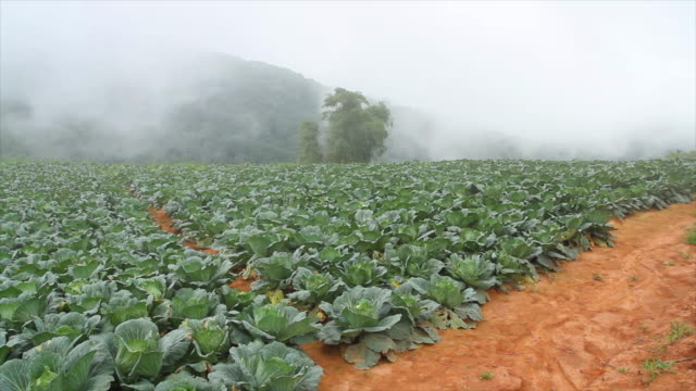 Cabbage Field 4K: Cabbage Field cabbage stock videos & royalty-free footage