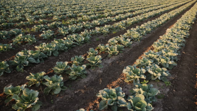 Cabbage grows in the farmer field Cabbage grows in the farmer field. Summer, day. Camera moves along rows of cabbage in slow motion. cabbage stock videos & royalty-free footage