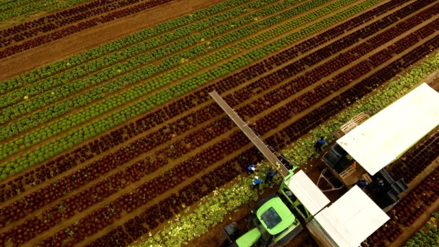 Cabbage harvesting by tractor. Field with rows of salad video