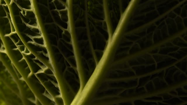 cabbage leaf with soft light detail cabbage leaf with soft light detail cabbage stock videos & royalty-free footage