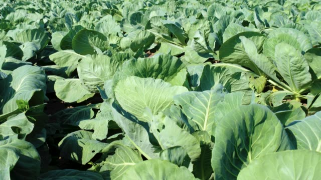 Cabbage salad. Growing healthy, organic food Field of cabbage vegetables, cultivation of healthy food cabbage stock videos & royalty-free footage