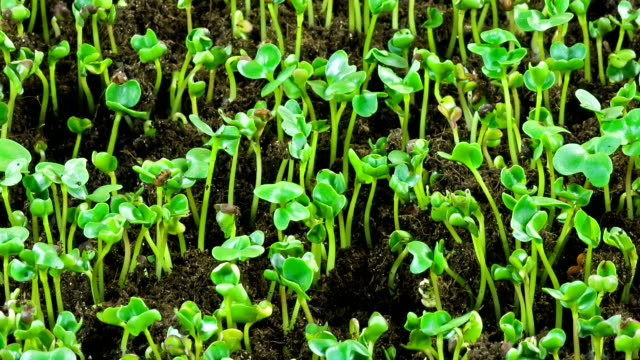 Cabbage seedlings sprout. video