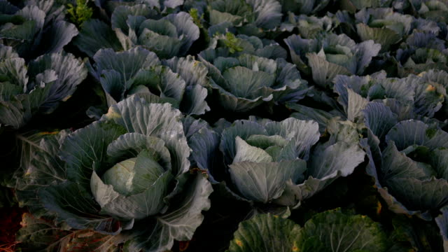 cabbage with water drops agriculture cabbage with water drops view in morning cabbage stock videos & royalty-free footage