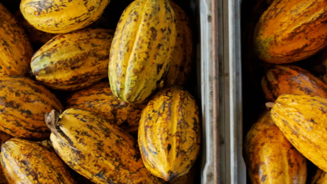 cacao fruit, raw cacao beans and cocoa pod in box. - theobroma video stock e b–roll