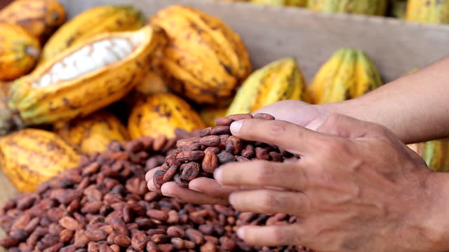 Cacao fruit, raw cacao beans, Cocoa pod on hand. video