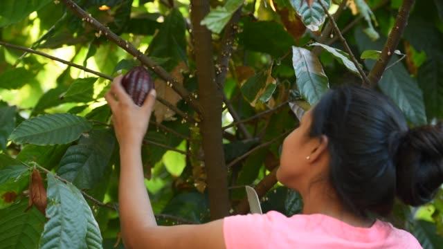 カカオ農園のテーマです。女性の準備ができてのココア ポッド果物を収集 - 収穫点の映像素材/bロール