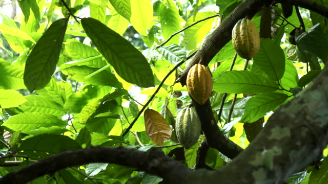 cacao pods growing on a tree at a plantation on bali video