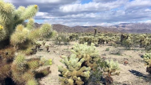cacti in joshua tree national park - cespuglio tropicale video stock e b–roll